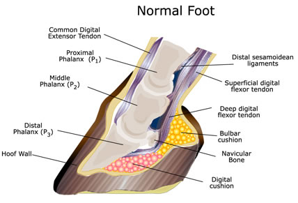 the normal hoof